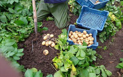 Heerlijk verse nieuwe aardappels, van eigen land
