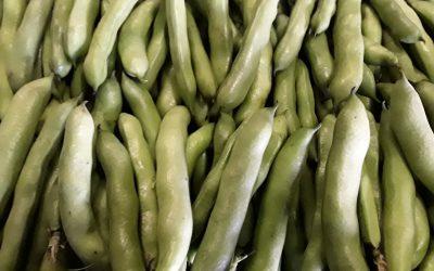 Heerlijk verse Tuinbonen van eigen land, vanaf nu verkrijgbaar.